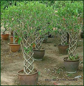 Thaising Tropical Plants Nursery Bangkok Thailand Orchid And Grower Exporter Pottery
